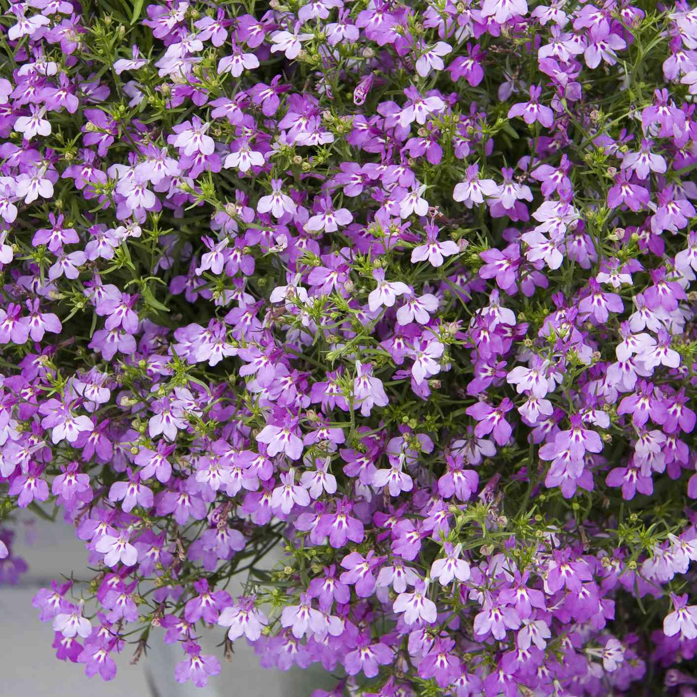 Purple lobelia