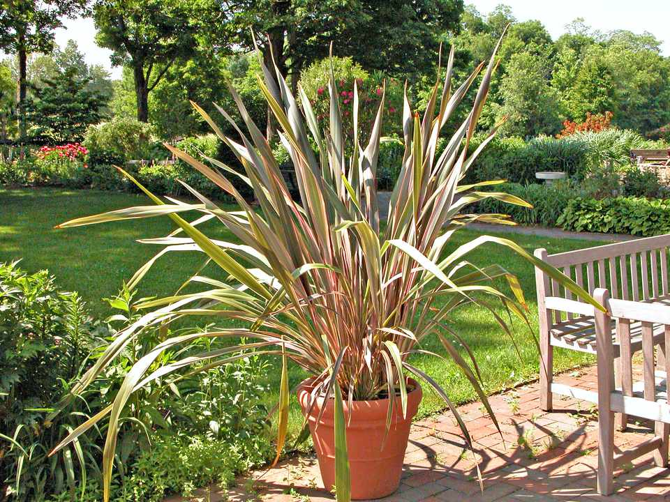 New Zealand Flax (Phormium tenax and hybrids)