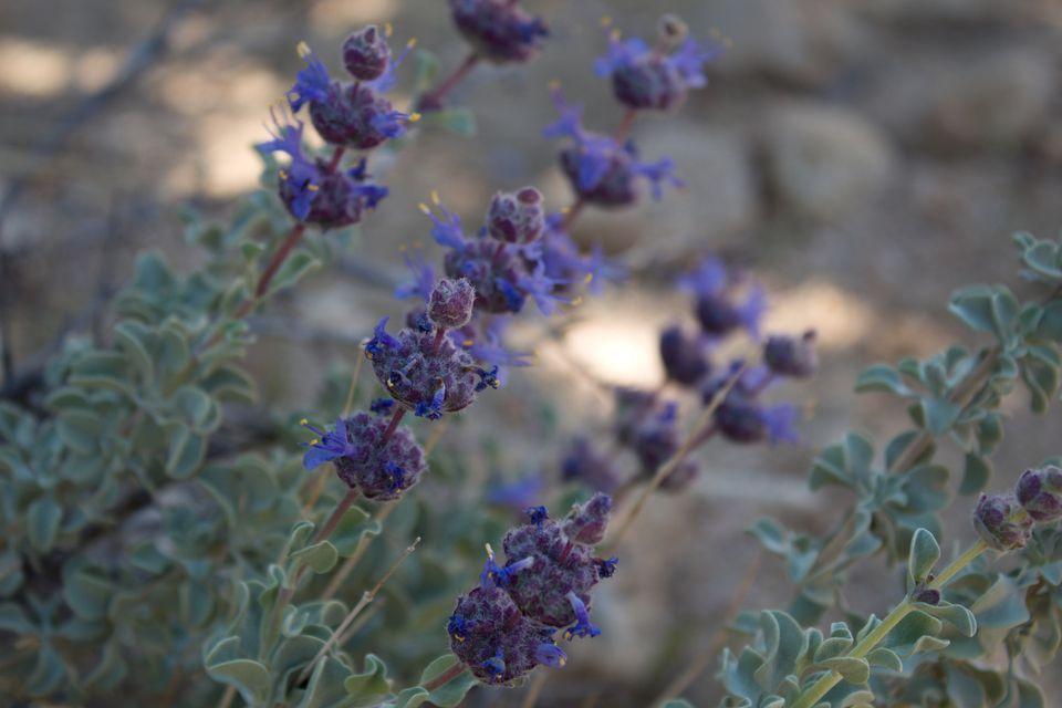 Purple Sage Bush (Salvia dorrii) close up