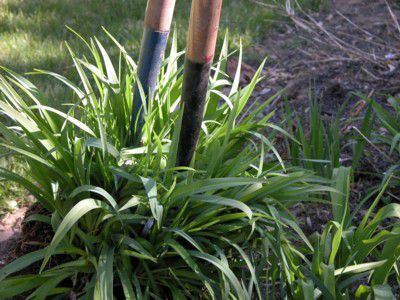 How To Divide Perennial Plants
