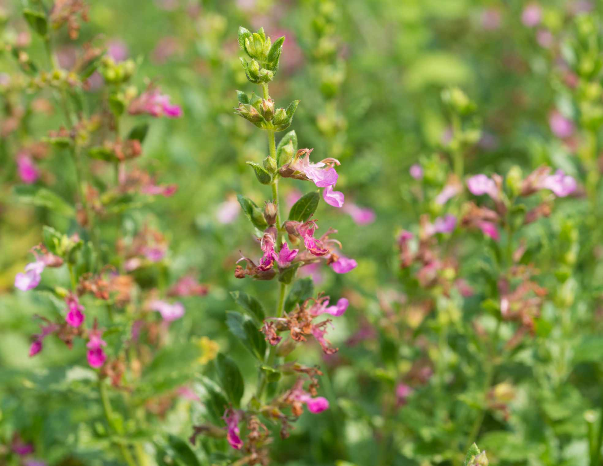 healing herbs - Teucrium chamaedrys