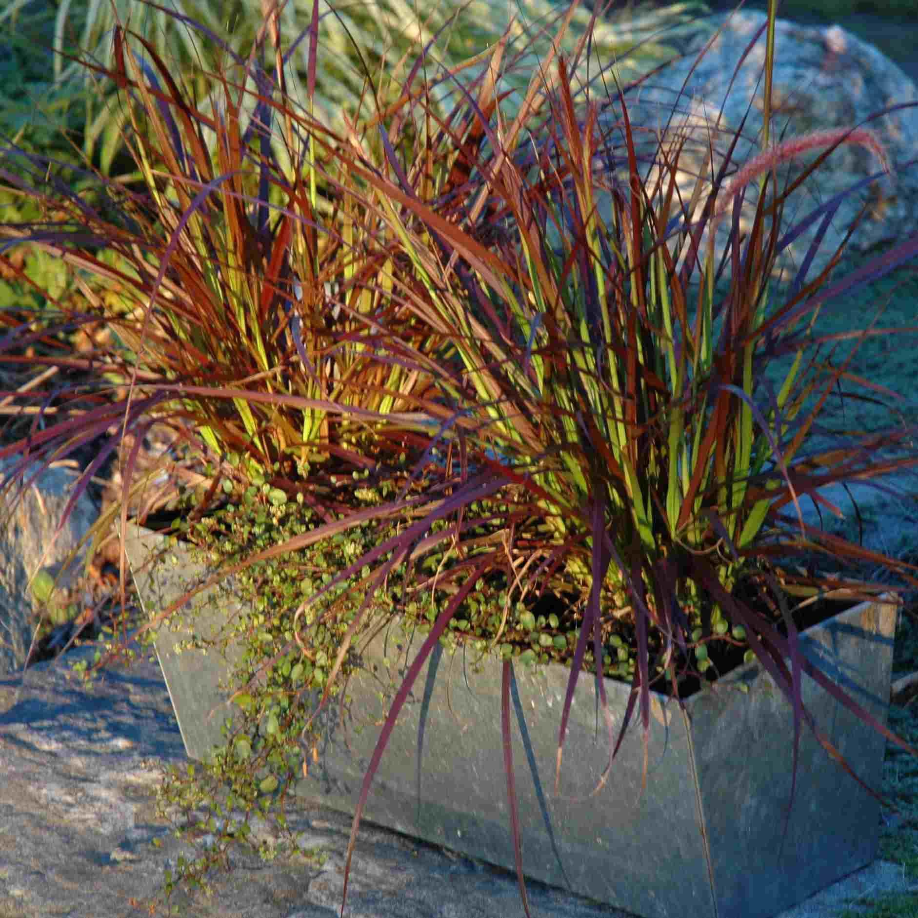 annual grass and wirevine