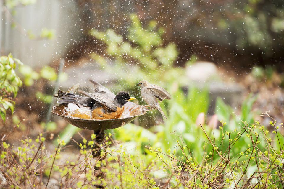 A robin and a sparrow in birdbath