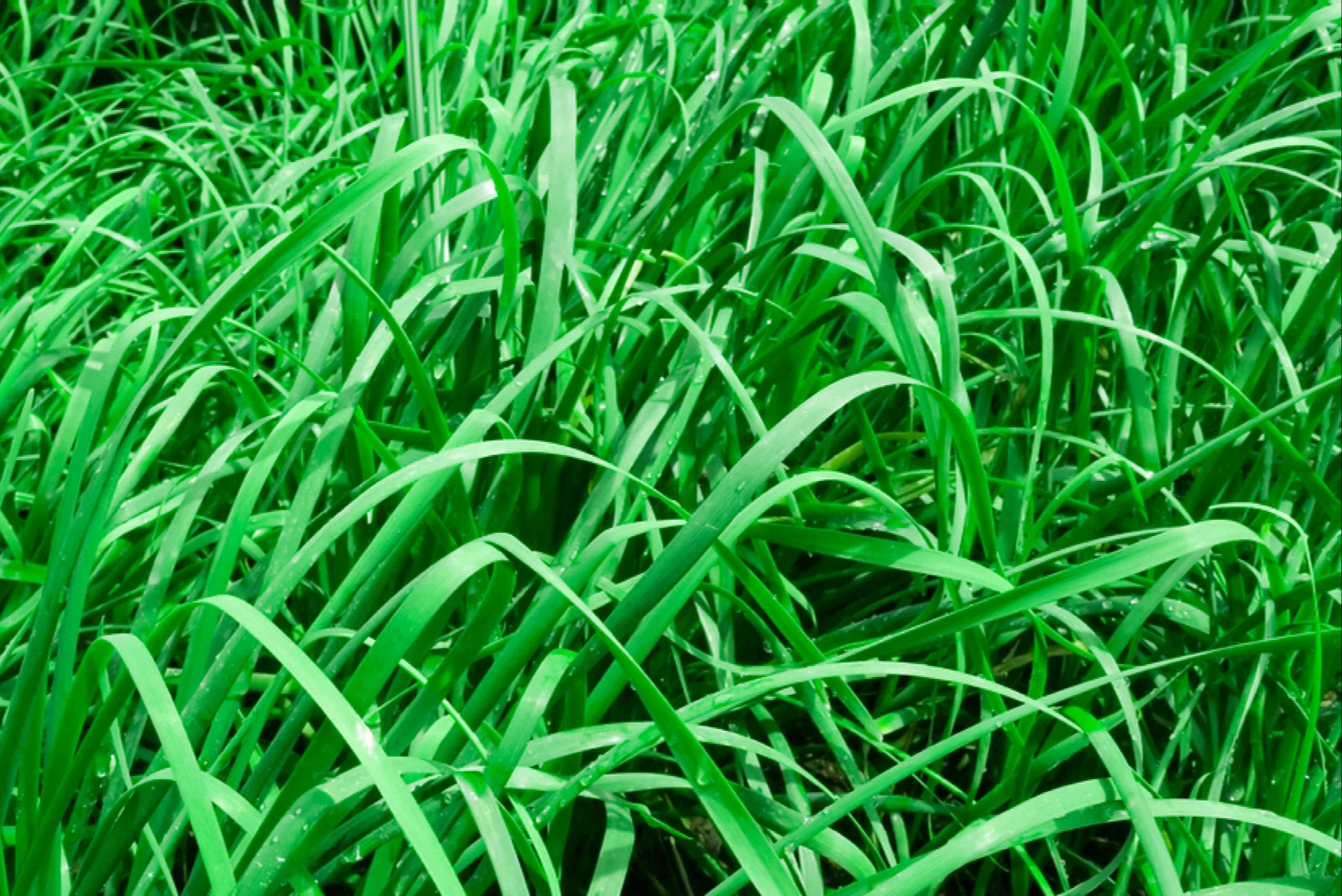 Tall fescue grass with wide blades stacked on each other closeup