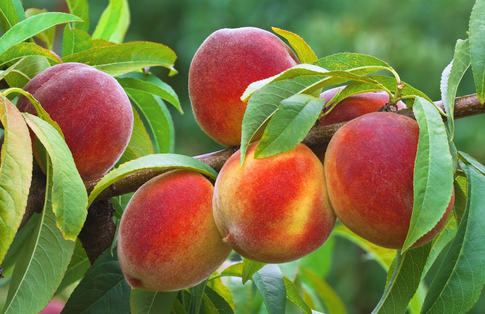 How To Plant Peach Seeds
