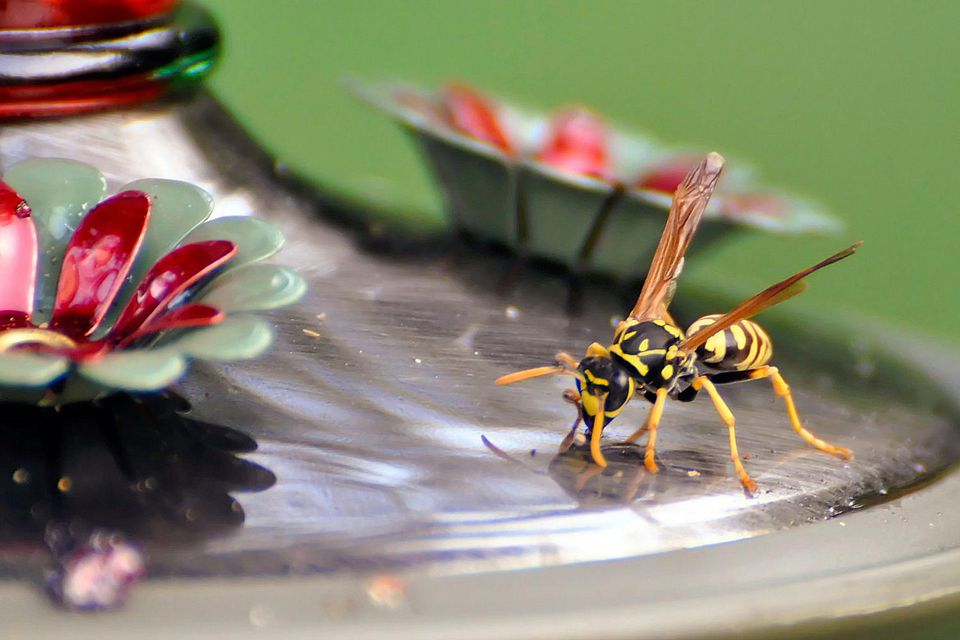 Wasp on a Hummingbird Feeder