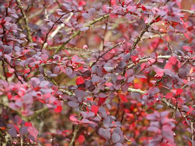 12 species of magnolia trees and shrubs 9 great trees and shrubs with purple leaves mightylinksfo