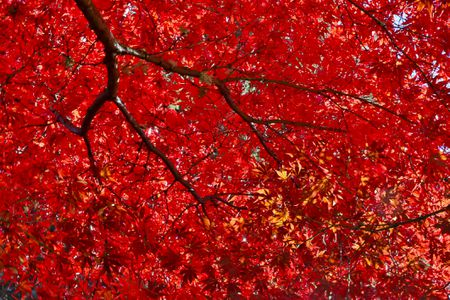 Anese Maple Tree With Red Fall Color