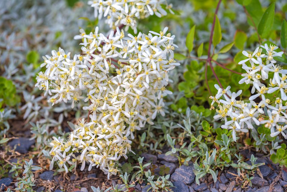 Sweet autumn clemantis plant with tiny white flowers clustered together near ground