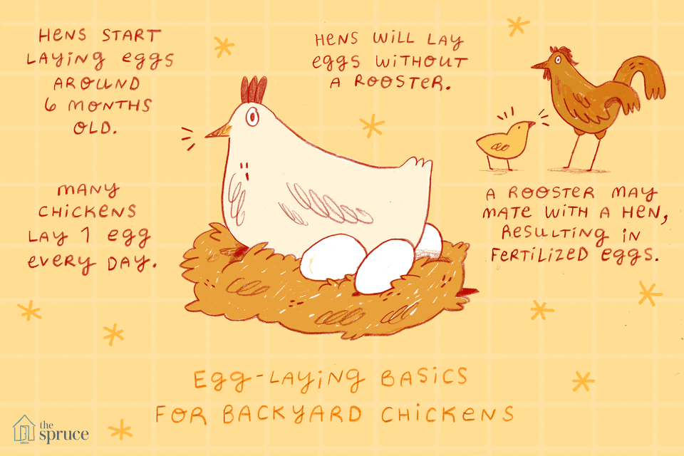 egg laying basics for chickens