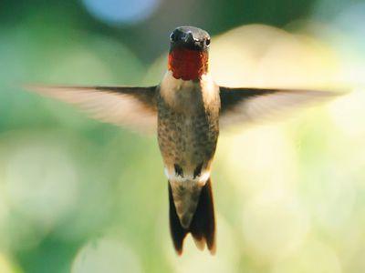 When Do Hummingbirds Migrate