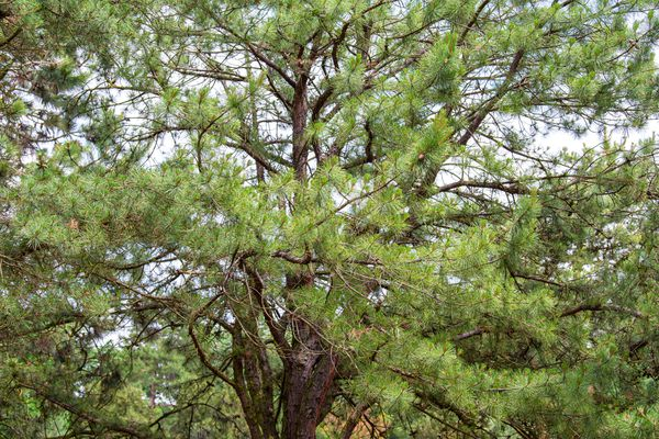 Pitch pine tree with long twisting branches and yellowish-green needles
