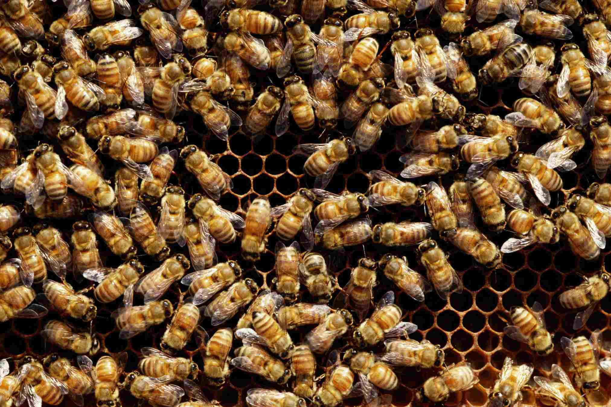 Honey bees (Hymenoptera) on honeycomb