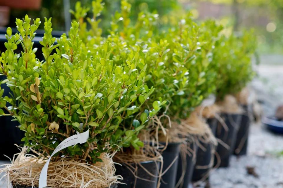 dwarf boxwood shrubs