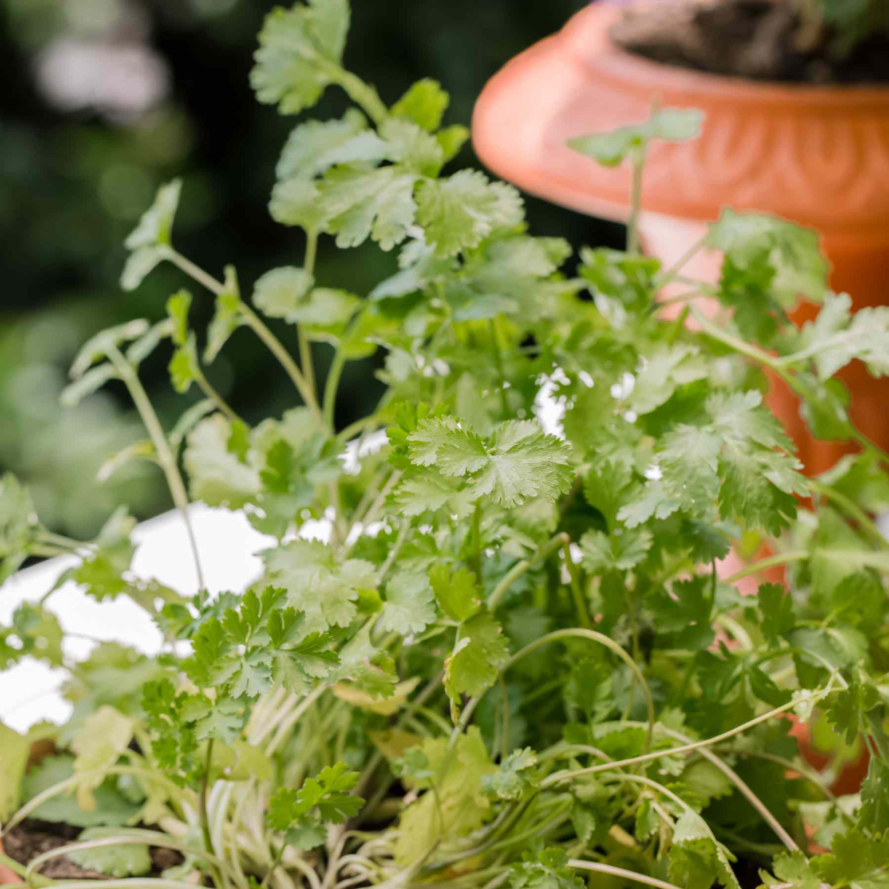 cilantro growing in a container