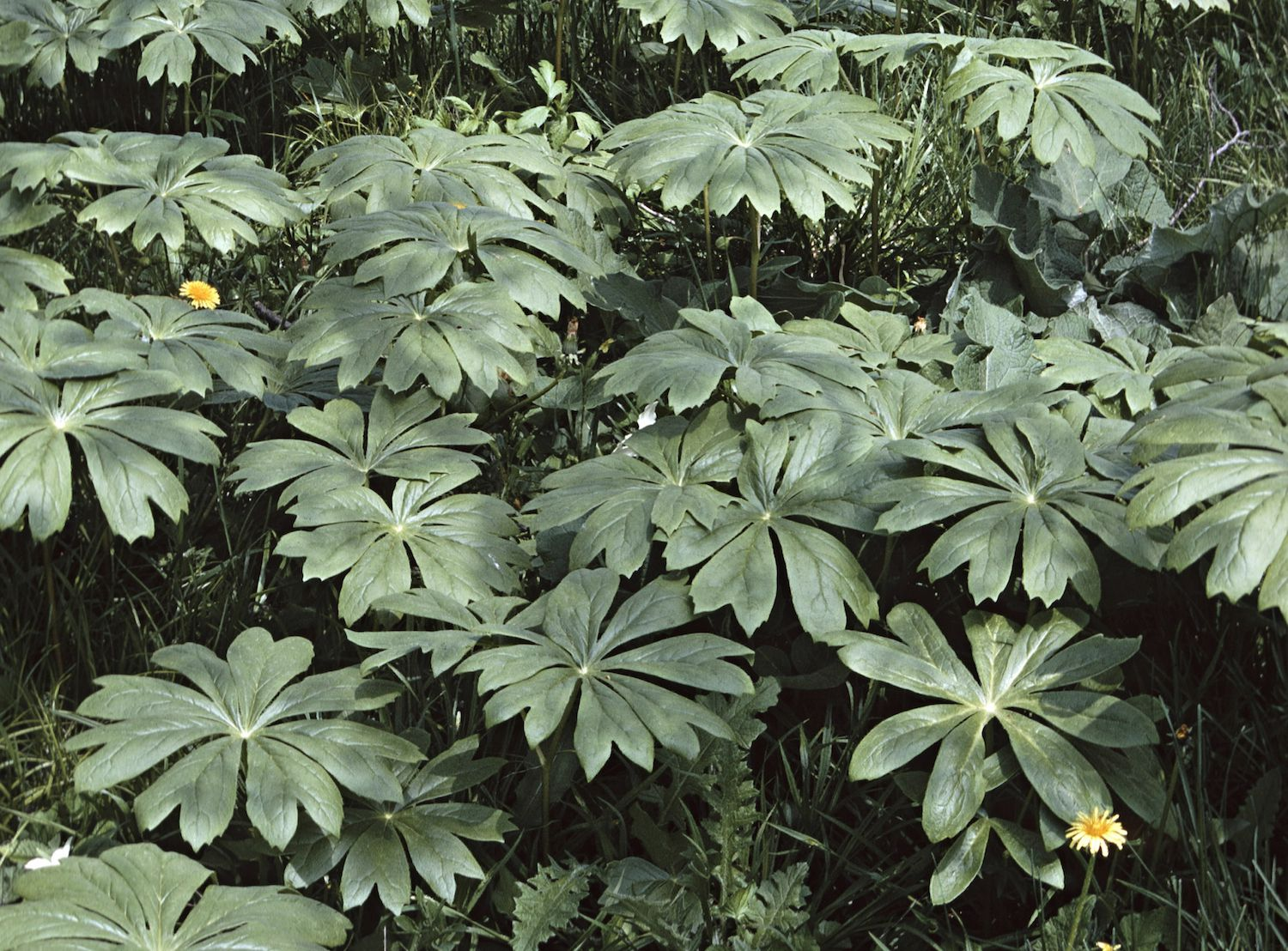 Mayapple Poisonous But Striking Shade Plant