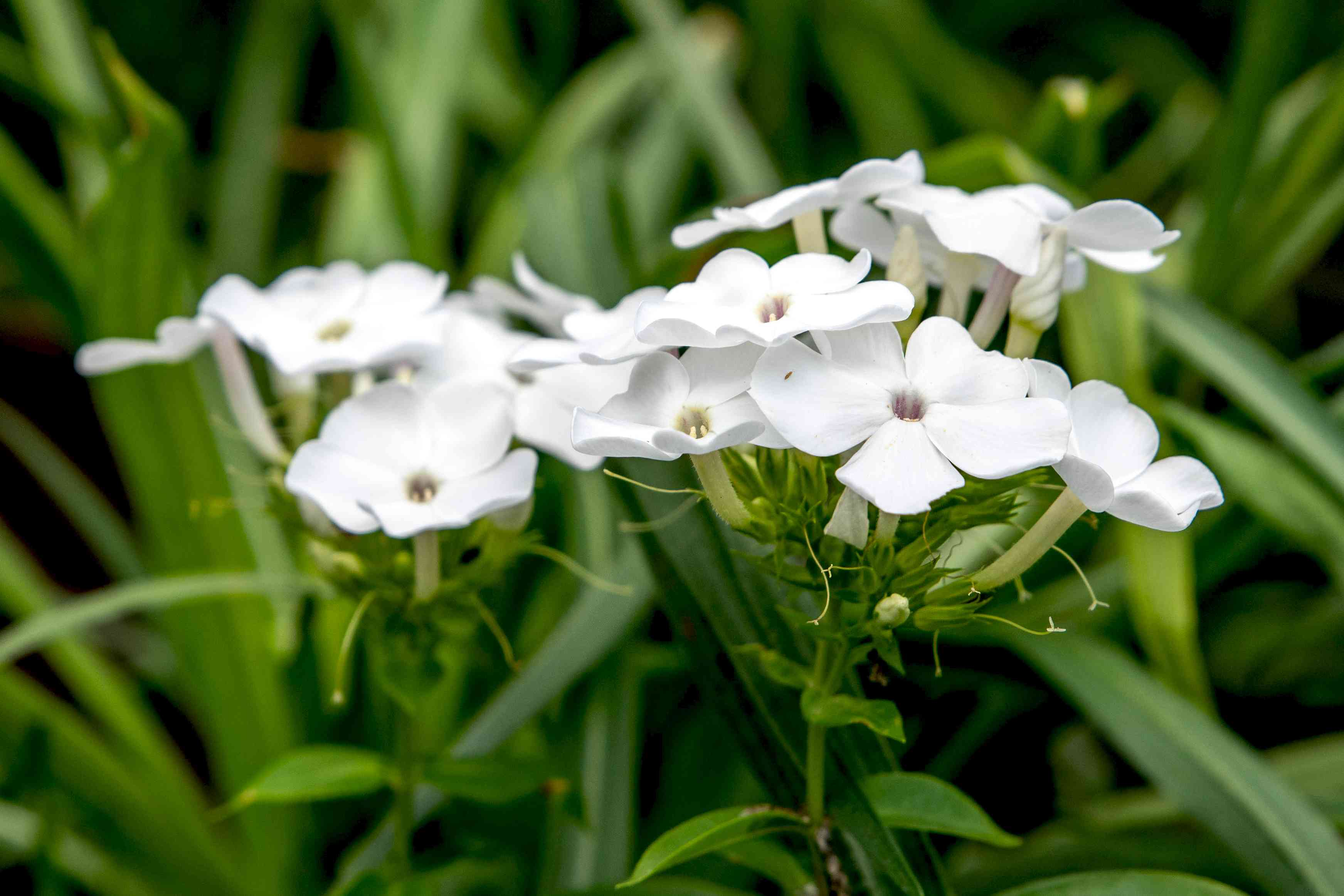 'David' garden phlox plant with small white flowers clustered with buds on stem closeup
