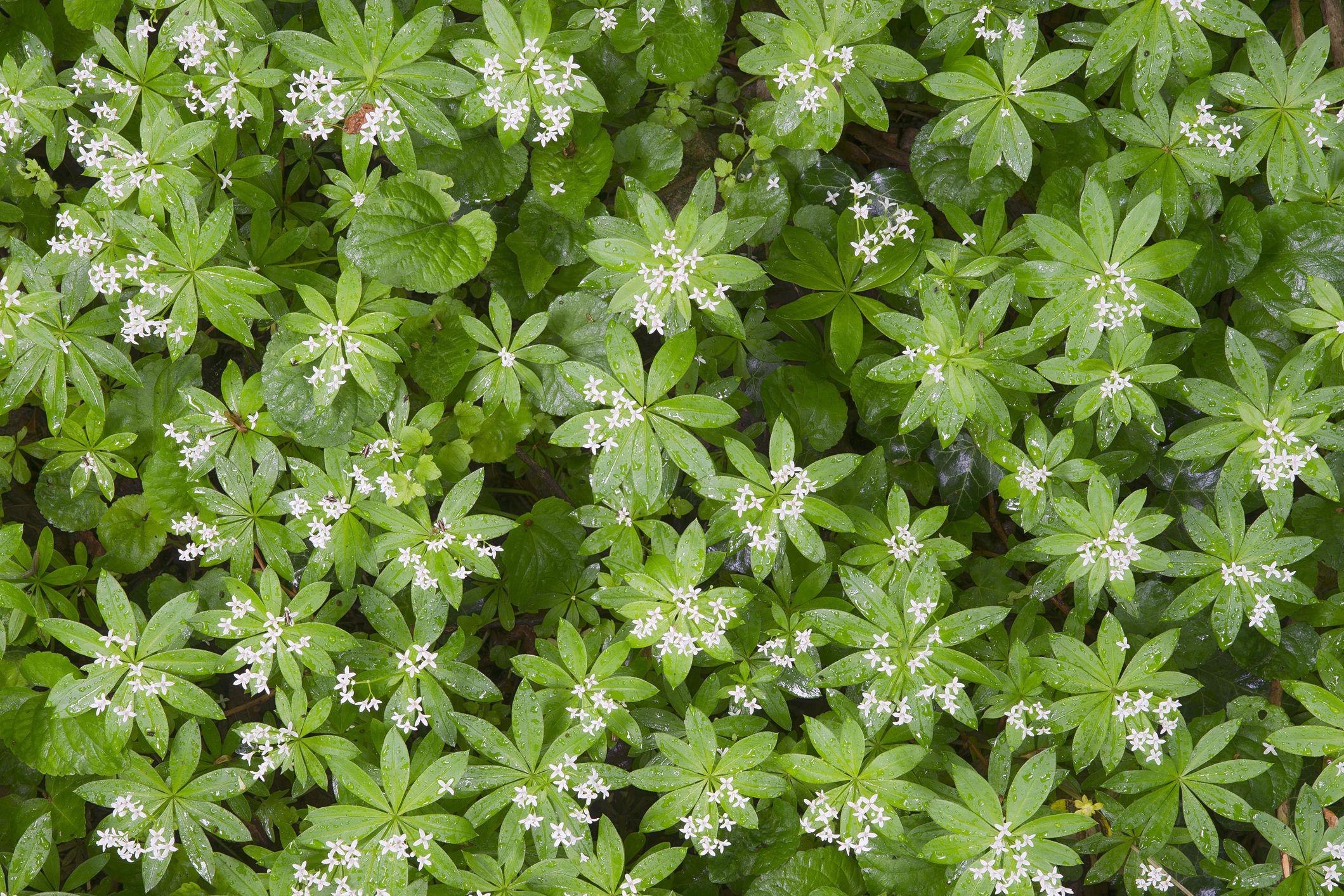 Sweet Woodruff or Wild Baby's Breath (Galium odoratum), Perchtoldsdorfer Heide, Perchtoldsdorf, Lower Austria, Austria