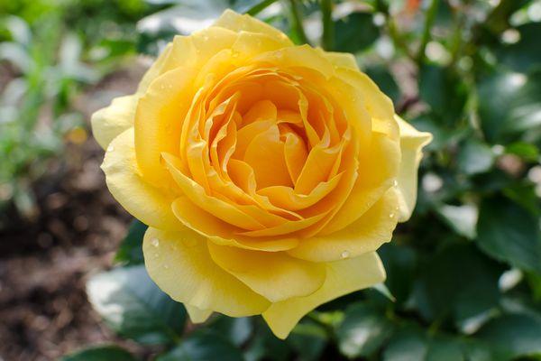 Julia Child rose in bloom