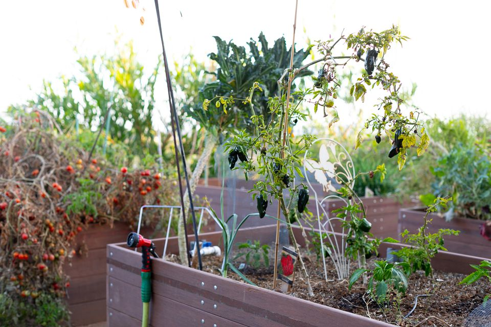 Vegetable garden in raised garden beds with eggplant and tomatoes hanging