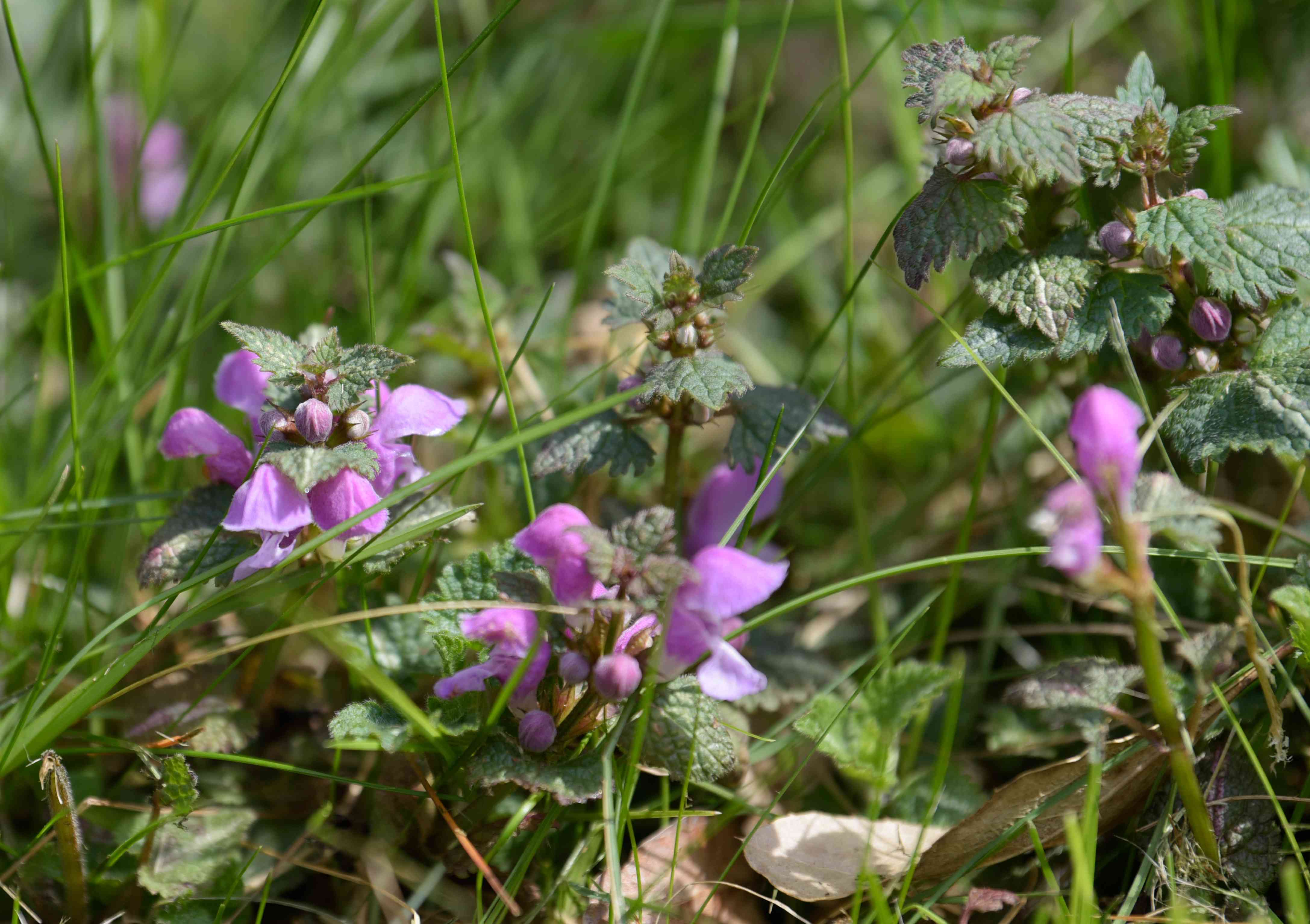 Spotted dead nettle plant with silvery green leaves and small pink flowers between grass blades in sunlight