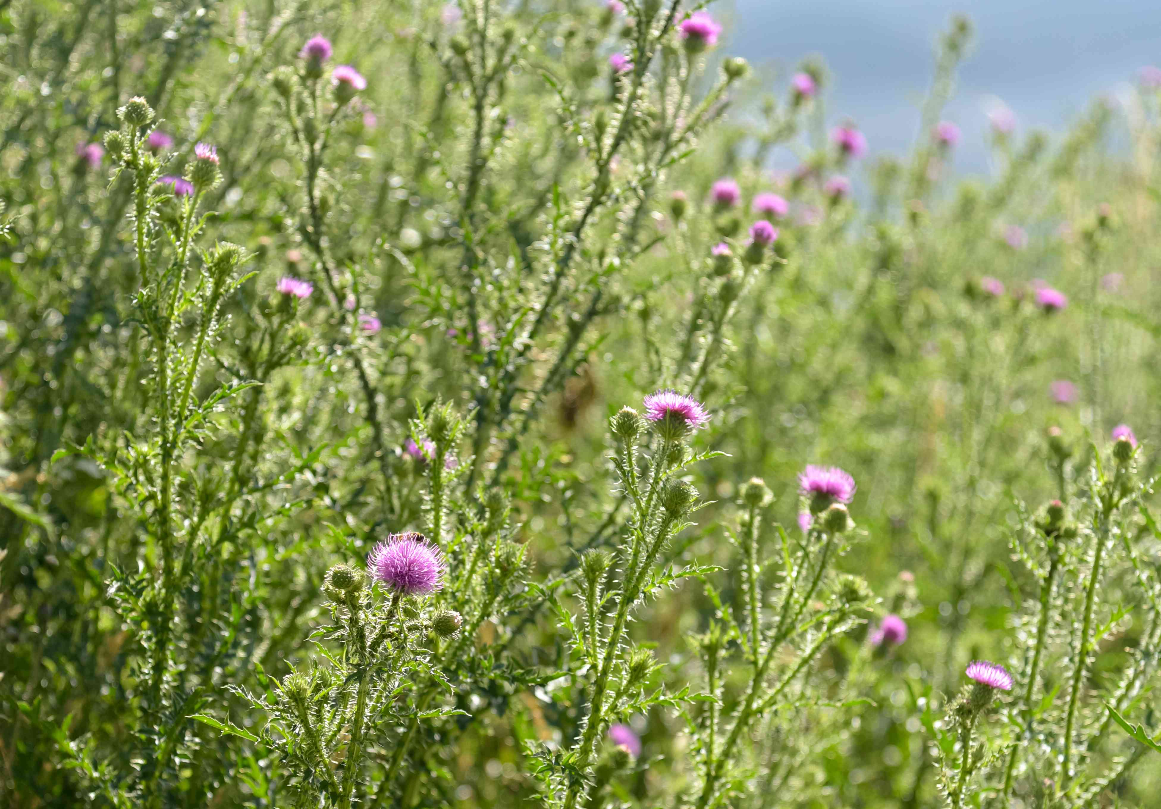 Bull thistle weed plant with prickly stalks with and small pink flowers in sunlight