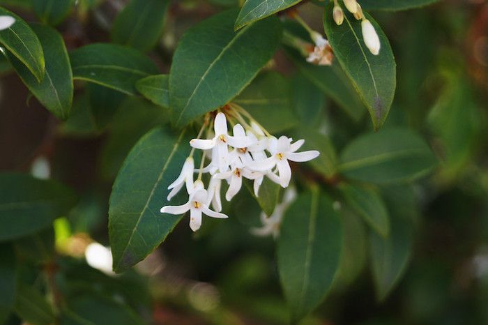 white blooms and dark green foliage in shade site