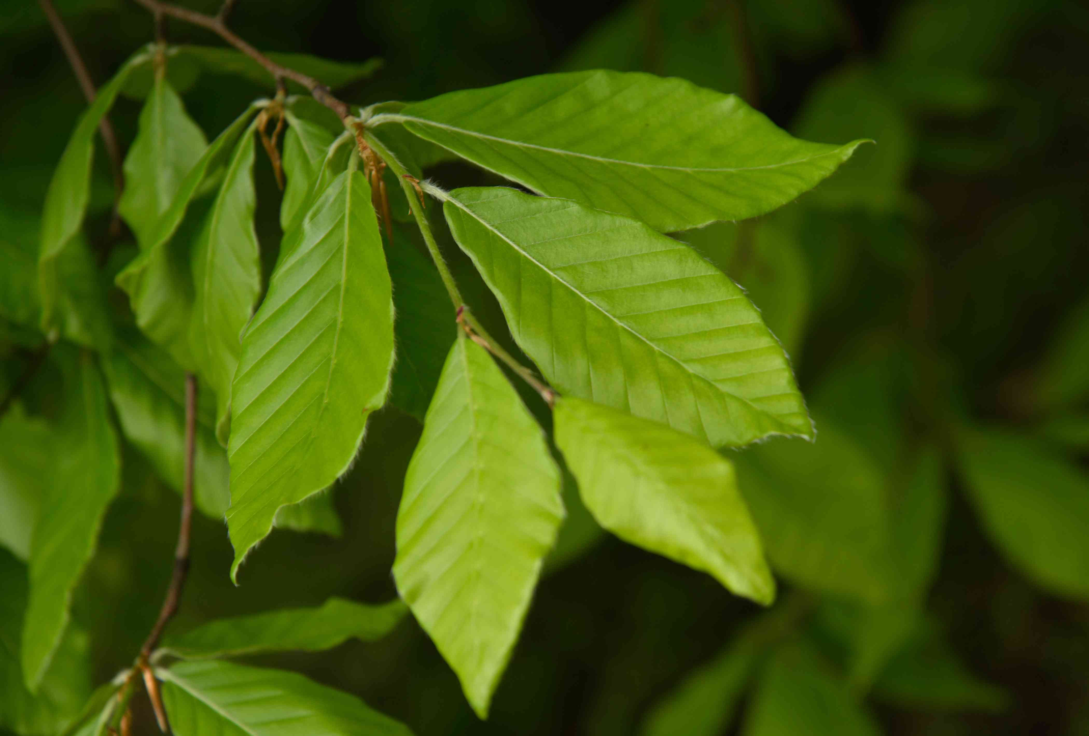 American beech tree leaves with prominent veins and toothy edges closeup