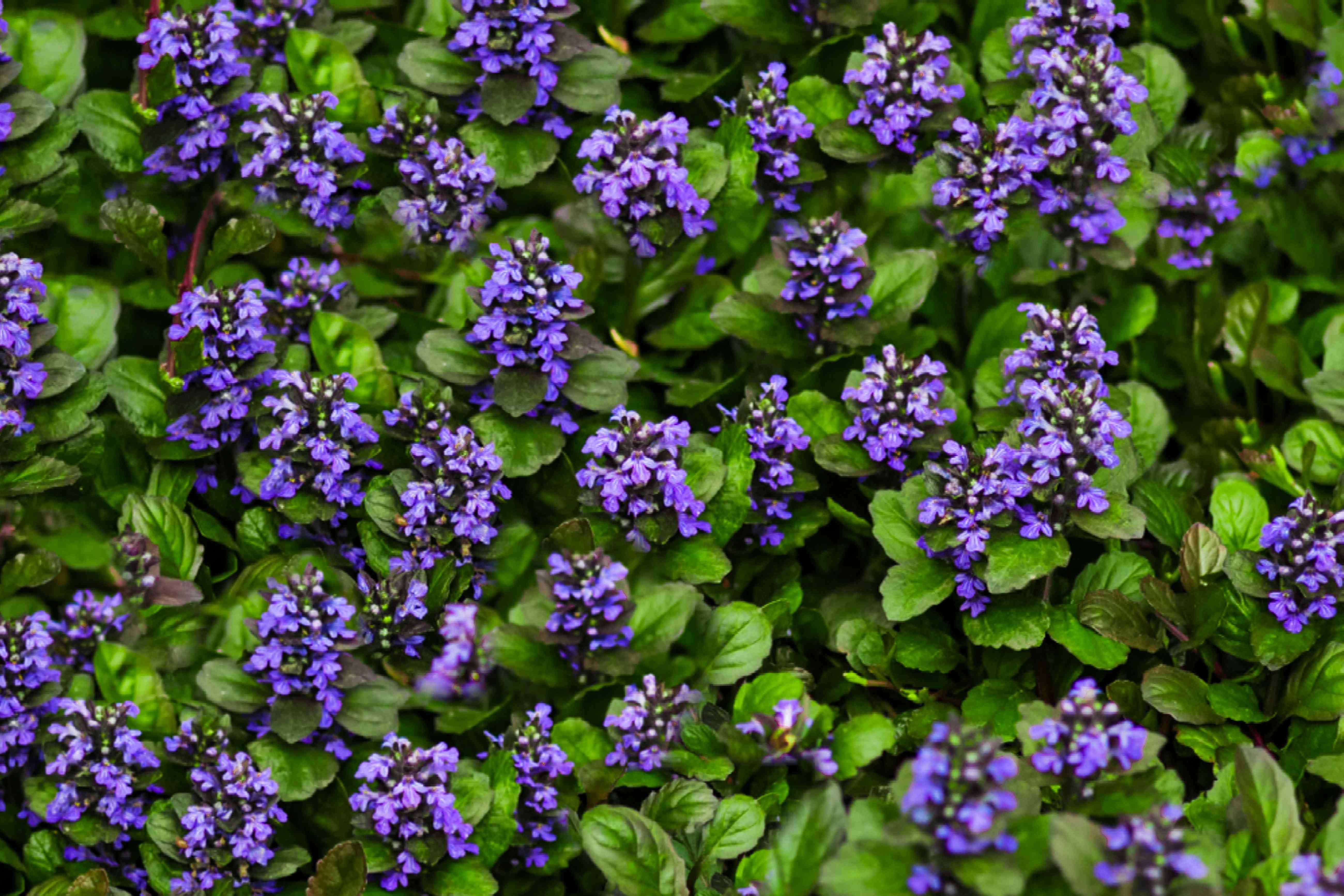 bugleweed as a ground cover