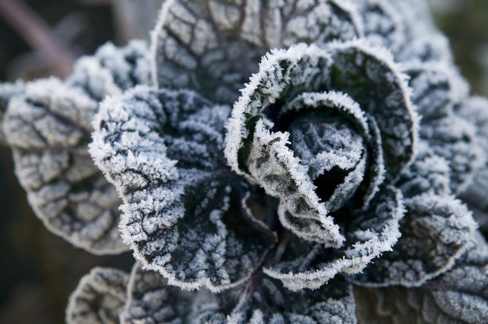 Cabbage covered with frost