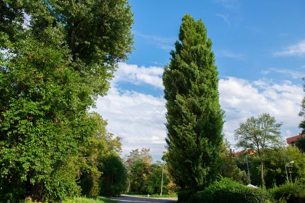 Lombardy poplar trees with columnar trunks and upwards branches near pathway