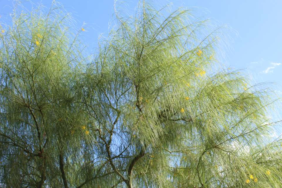 Mexican palo verde tree (Parkinsonia aculeata) upper branches