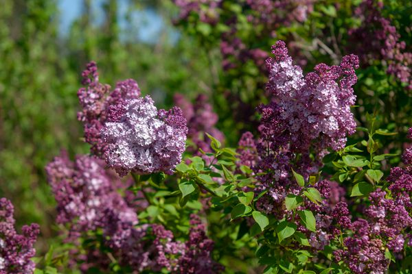 Maiden's blush lilac with reddish-purple flowers