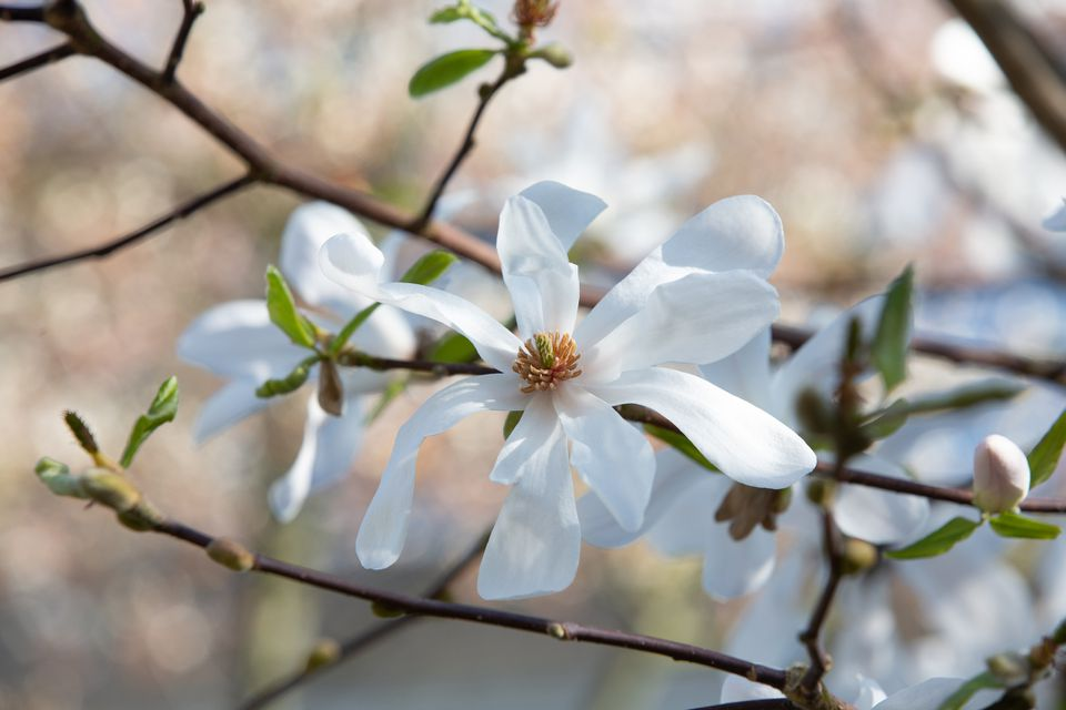 The white and many-petaled flowers of the Star Magnolia