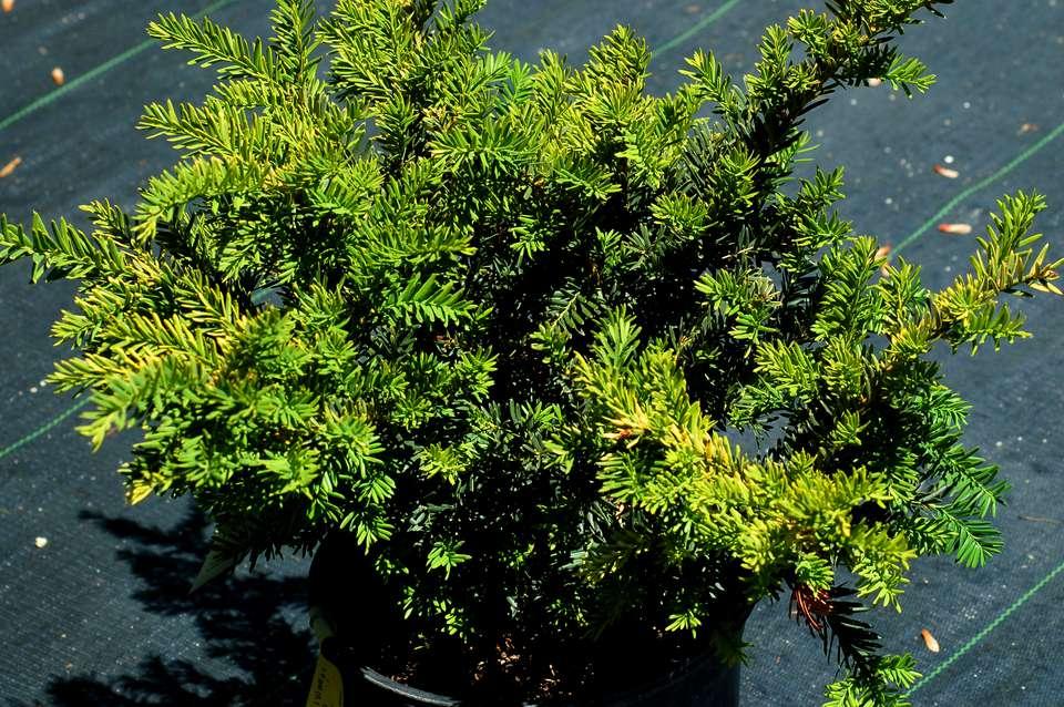 Taunton yew shrub
