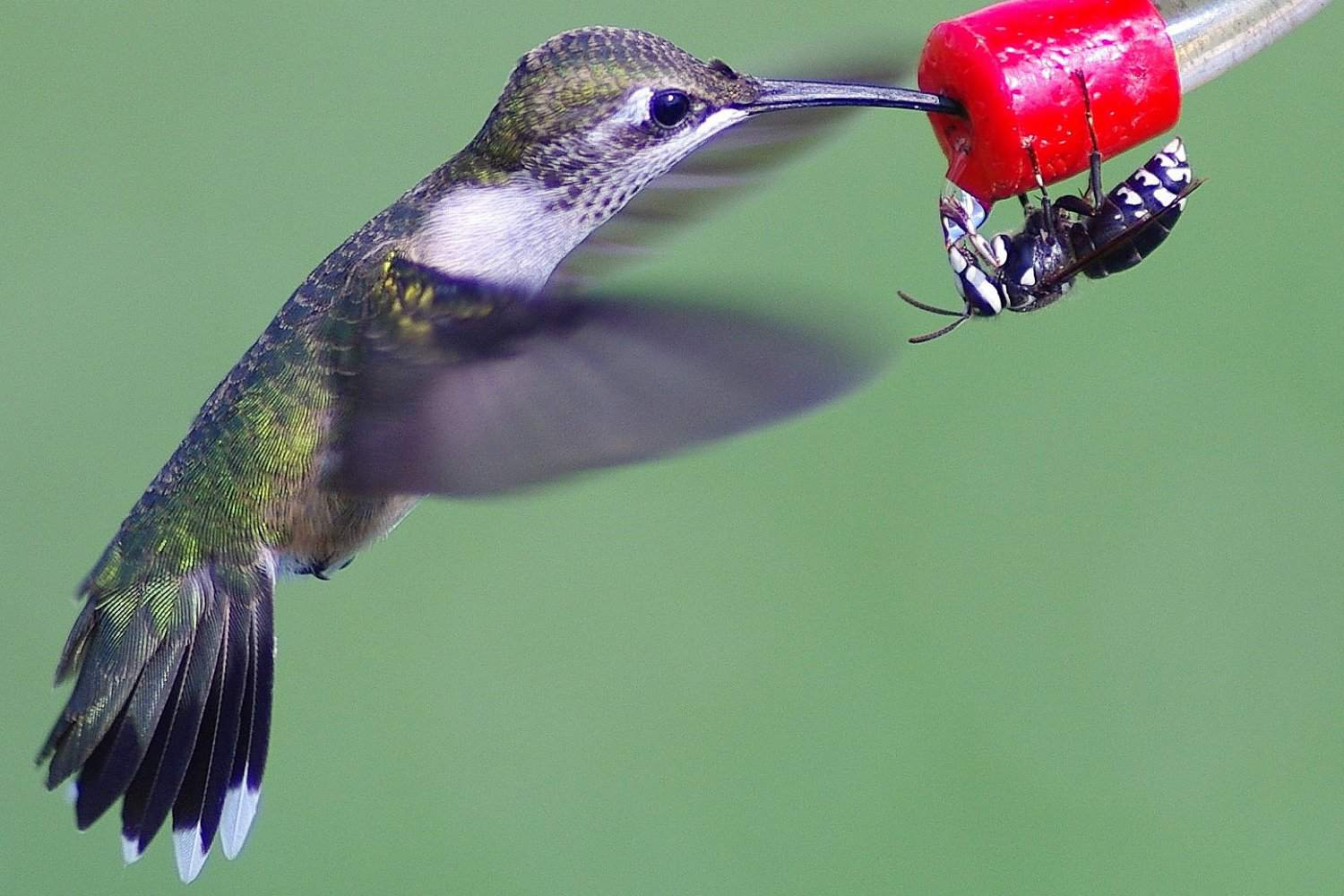 Hummingbird using feeder with a wasp