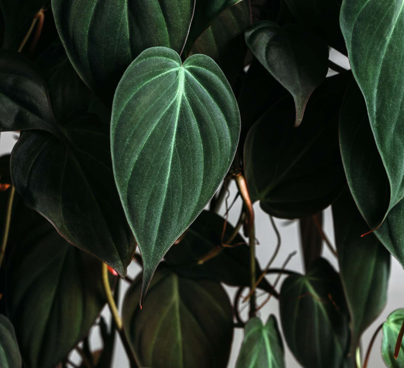 Close up image of a green velvet philodendron micans leaf.