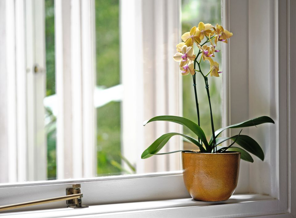Yellow Orchid in a yellow vase by the window