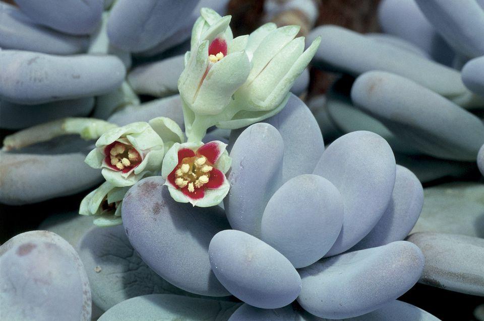 Moonstones Plant