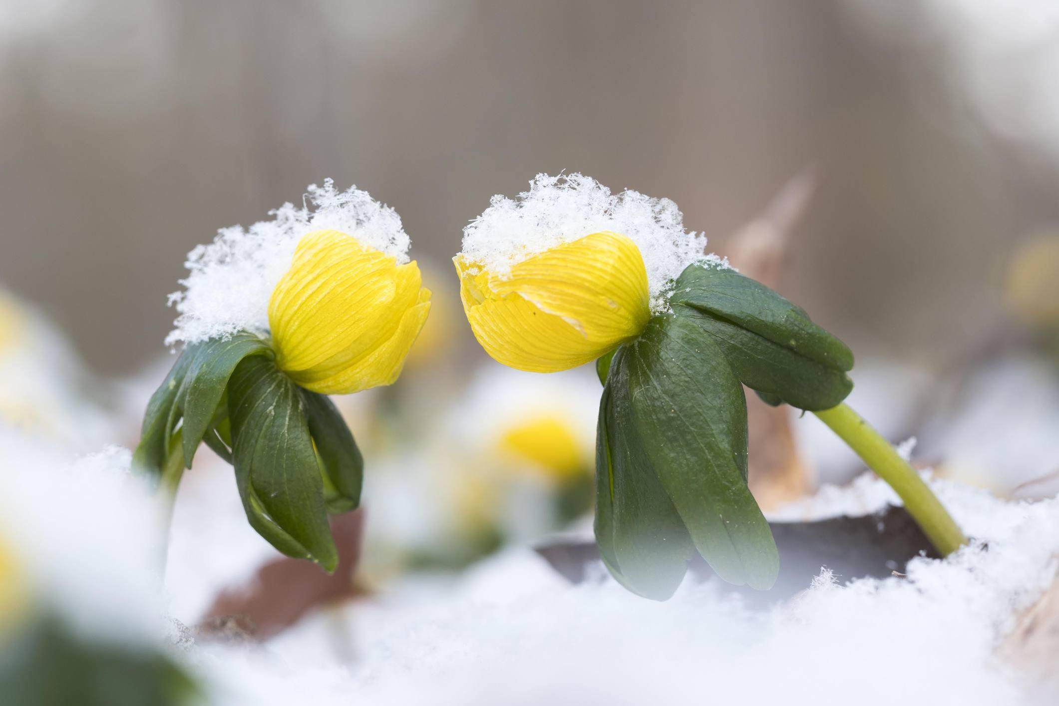 Winter aconite in bloom pushing through snow.