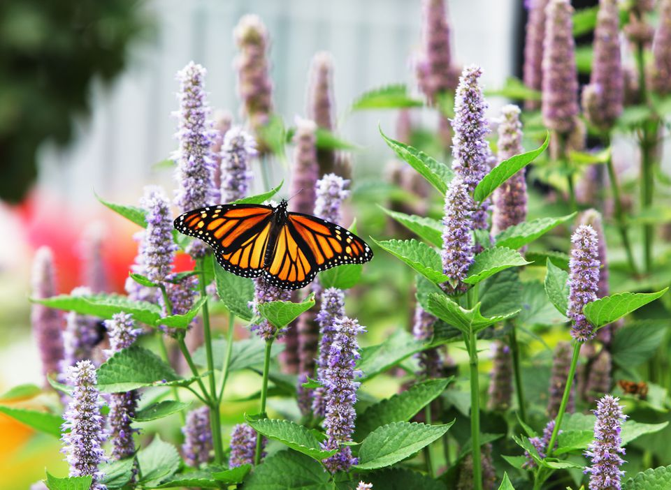 Monarch Butterfly (Danaus plexippus) on Anise Hyssop (Agastache foeniculum), which is blossoming in its characteristic blue/light lavender color.