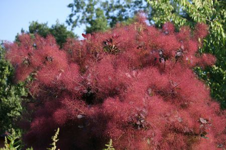 The Profusion Of Color On Purple Smoke Bush