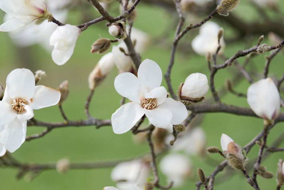 Kobus magnolia tree branch with white flowers and buds
