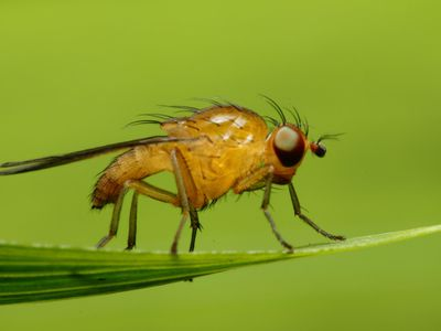Identifying and Controlling Phorid Flies