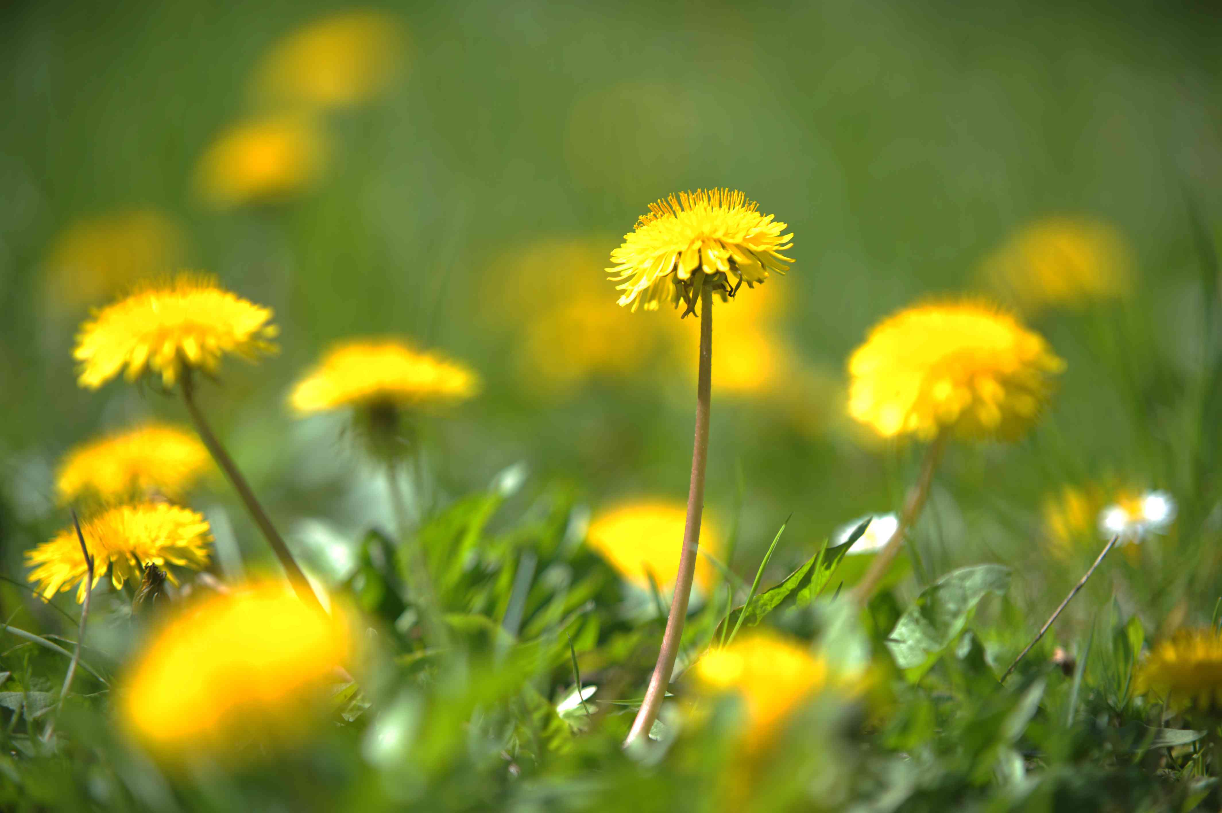 Yellow dandelion flowers in lawn as weed