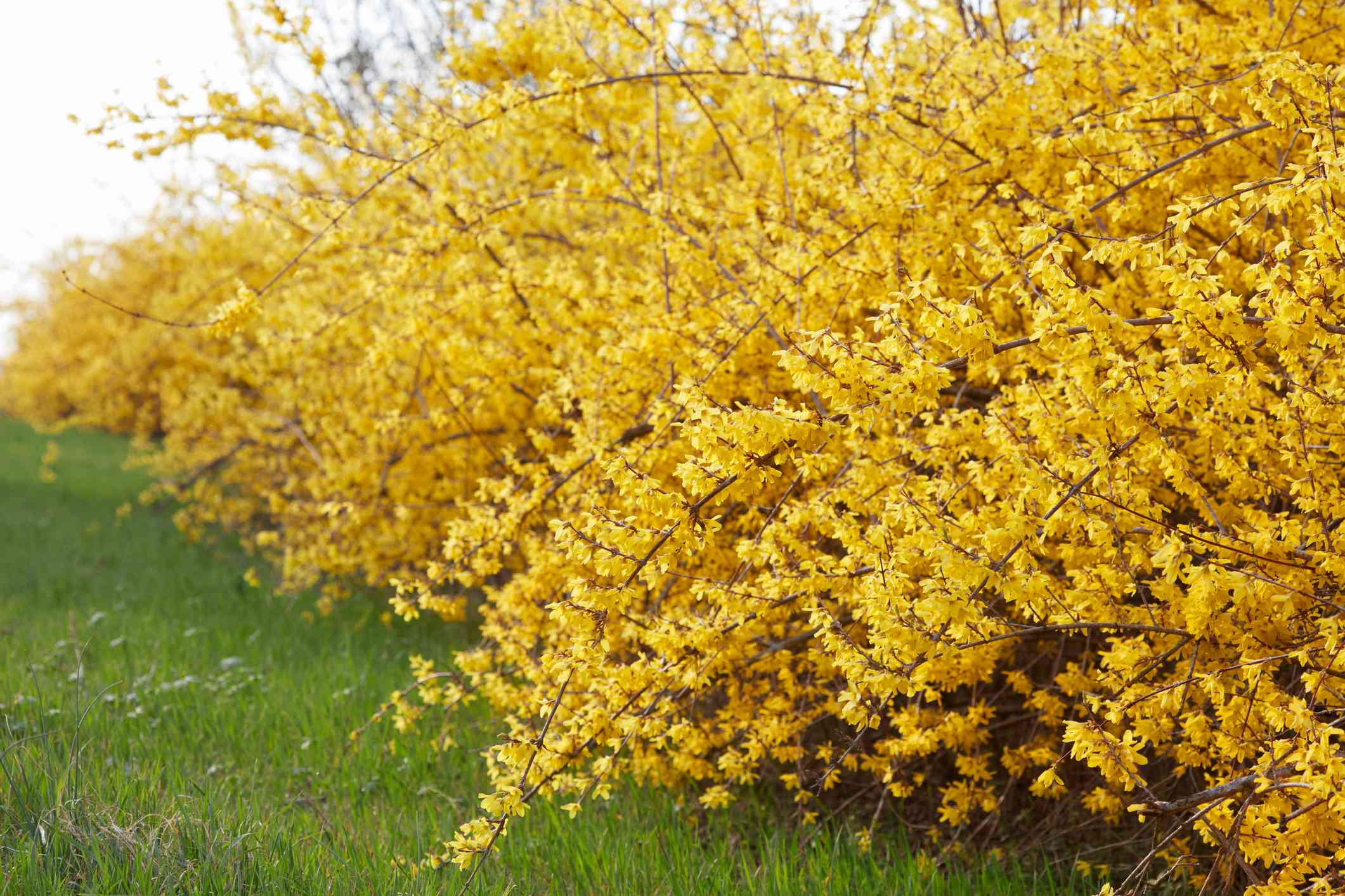 Forsythia, yellow spring flowers hedge and green grass