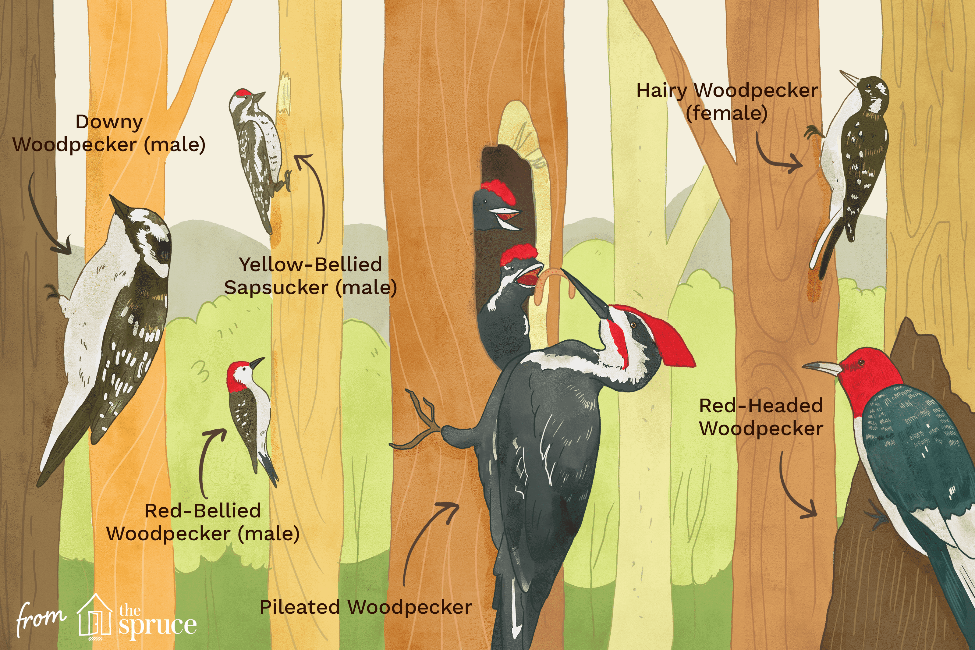 different woodpeckers