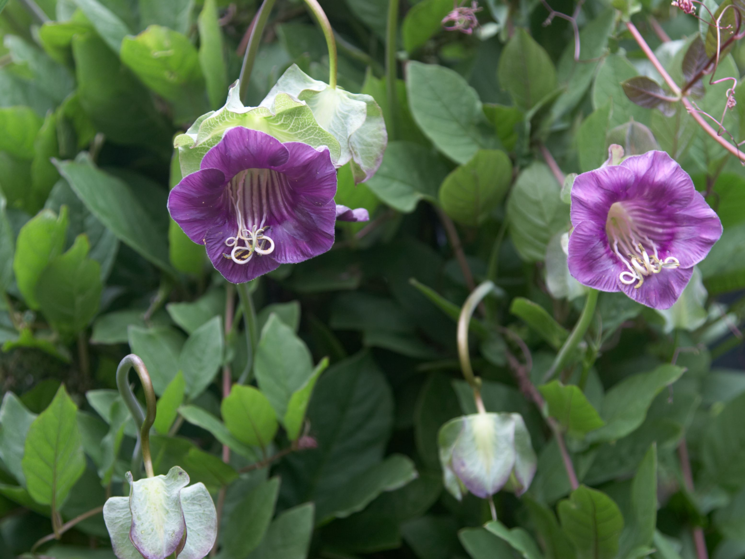 COBAEA CATHEDRAL BELLS Cup /& Saucer Vine Fast Growing Climbing Vine-10 Seeds