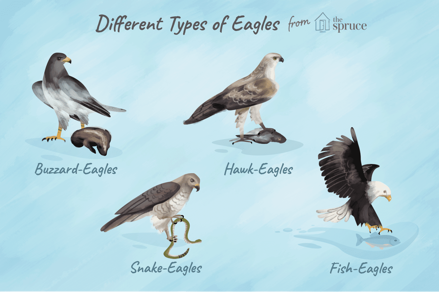 Complete Eagle Species List Wing Diagram Of Bald Types Eagles