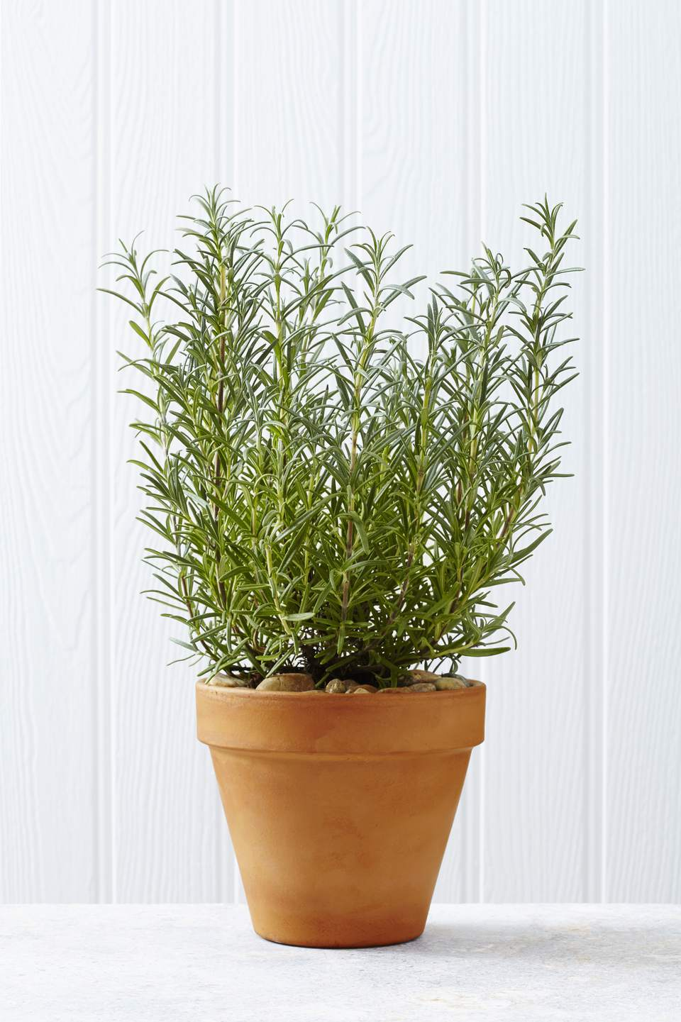 Rosemary plant on a kitchen worktop